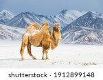 Bactrian camel in winter...