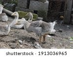 Gray Geese On The Ground....