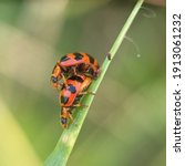 A Pair Of Ladybugs Mating  On...