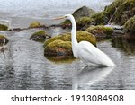 In winter, a Great egret searches for food by the water.