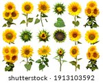 Sunflowers collection with...