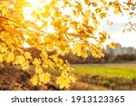 Yellow Maple Leaves During...