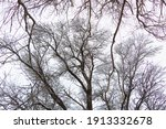 Elm Tree Branches In The White...