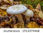 Amanita Strobiliformis   The...