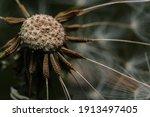 Macro Dandelion In The Garden