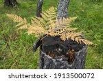 Birch Tree Stump In The Birch...