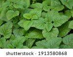 melissa plant. lemon balm in... | Shutterstock . vector #1913580868
