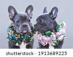 Beautiful Blue French Bulldogs...