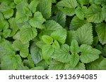 melissa plant. lemon balm in... | Shutterstock . vector #1913694085