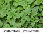melissa plant. lemon balm in... | Shutterstock . vector #1913694088
