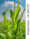 Corn Closeup On A Background...