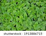 melissa plant. lemon balm in... | Shutterstock . vector #1913886715