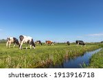 Group Of Cows Grazing In A...
