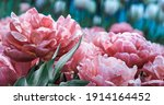Pink Tulips In Pastel Tints At...