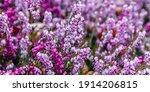 Erica Carnea Flowers. Winter...