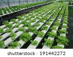 hydroponics vegetables  ... | Shutterstock . vector #191442272