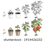 bell pepper growth stages... | Shutterstock .eps vector #1914426232