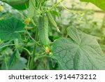 Young Plants Blooming Cucumbers ...