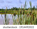 Reeds Growing On The Shore Of A ...