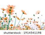 beautiful pink cosmos flowers... | Shutterstock . vector #1914541198