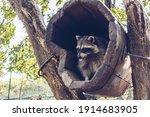View From Below On Cute Raccoon ...
