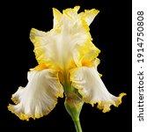 Yellow Flower Of Iris  Isolated ...