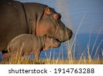 Hippo Mother And New Born Baby...