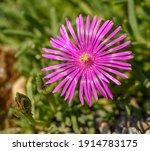 Purple Flower Of Trailing...