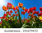 Bright Yellow And Red Tulips O...