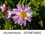 Aster Autumn Jewels 'rose...