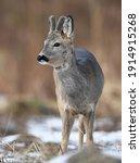Roe Deer Male   Capreolus...