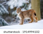 Lynx In Winter. Young Eurasian...