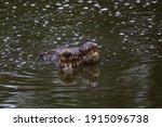 Two Crocodiles Lying Under...