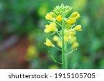 Yellow Mustard Flowers In Green ...