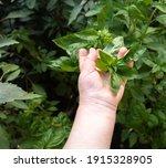 Child Hand Picking Green...