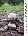 Agaricus Xanthodermus  Commonly ...