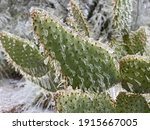 Winter storm in Austin Texas. Cactus in ice. Freezing rain. Winter scene. Natural disaster