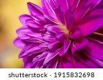 Purple Dahlia Flower Close Up...