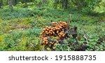 Group Of Brown Mushrooms ...