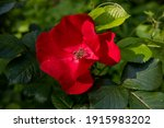China Rose  Blooming Wild Red...