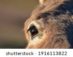 Brown Donkey Eye Close Up....