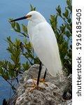 Snowy Egret Walks Along The...
