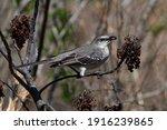 Northern Mockingbird  Mimus...
