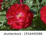 Red Rose Bush  Large Flower.