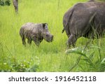 While A Young Rhinoceros Calf...