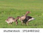 Juvenile Greylag Geese  Anser...