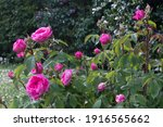 Magenta Pink Rose Blossom In...