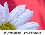 Daisy And Petals With...