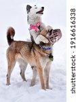 A Dog Of The Yakut Laika Breed...
