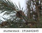Beautiful Winter Shot Of A Pine ...